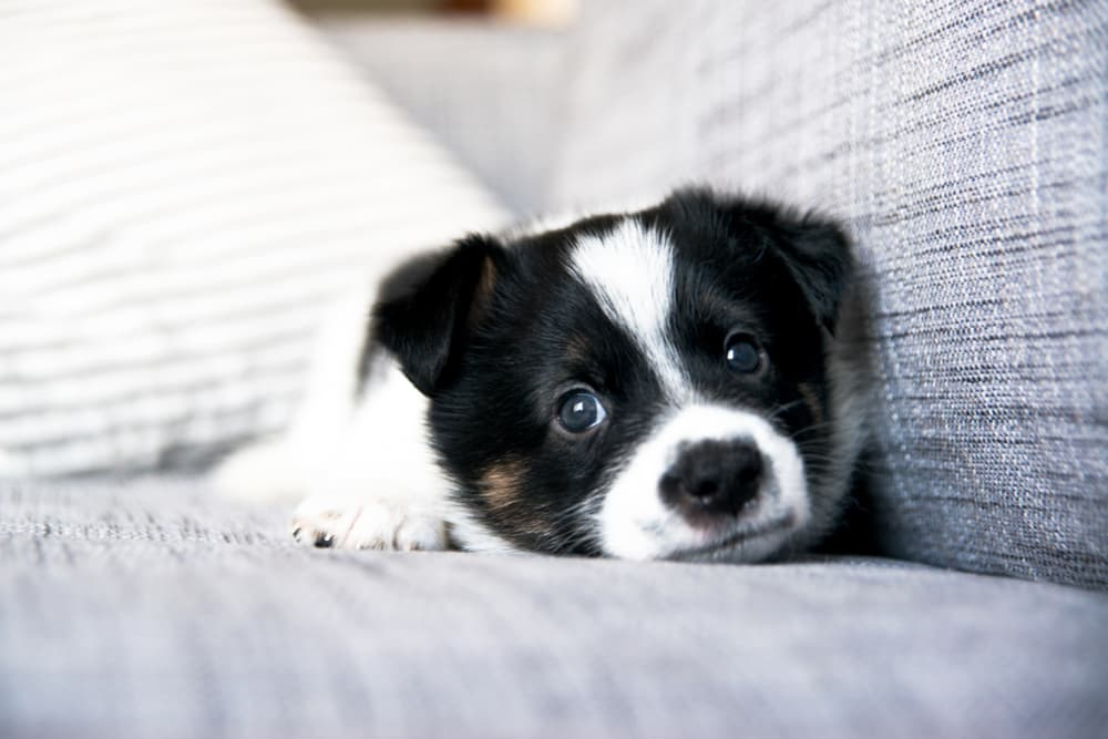 Puppy lying on couch looking sad