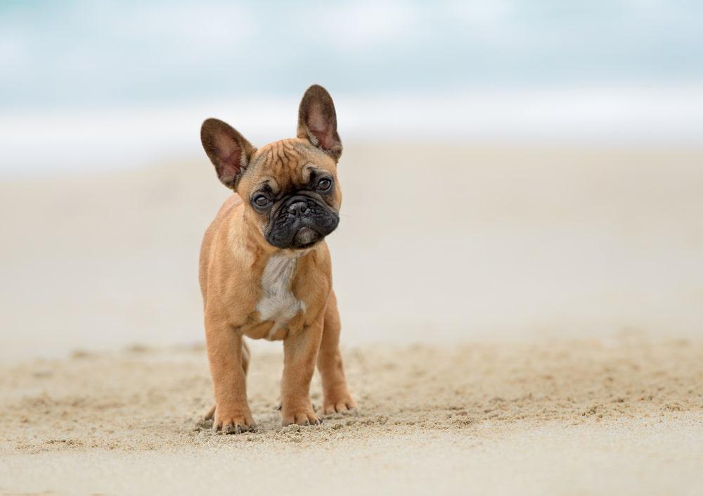 French bulldog puppy on beach