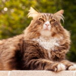 Sweet Maine Coon cat lounging outside