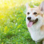 Happy corgi dog standing outside in the sun