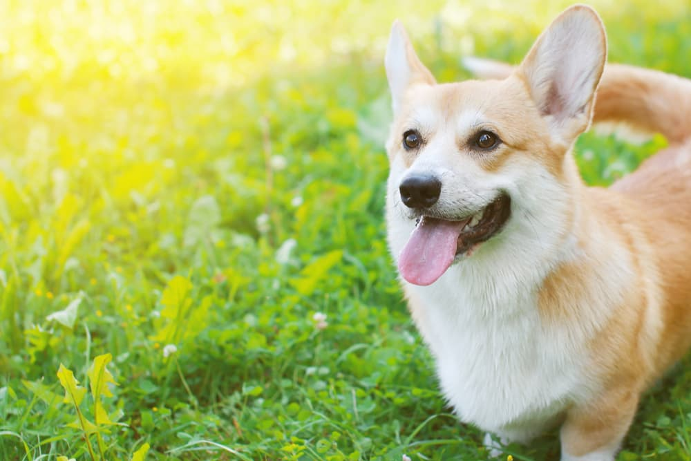 Happy corgi dog standing outside in the sun