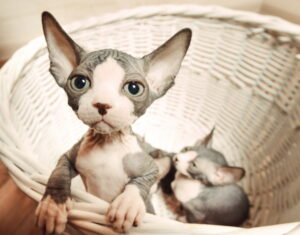 Sphynx kittens in basket