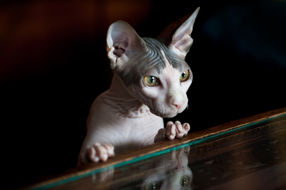 Mysterious Sphynx cat looking in mirror