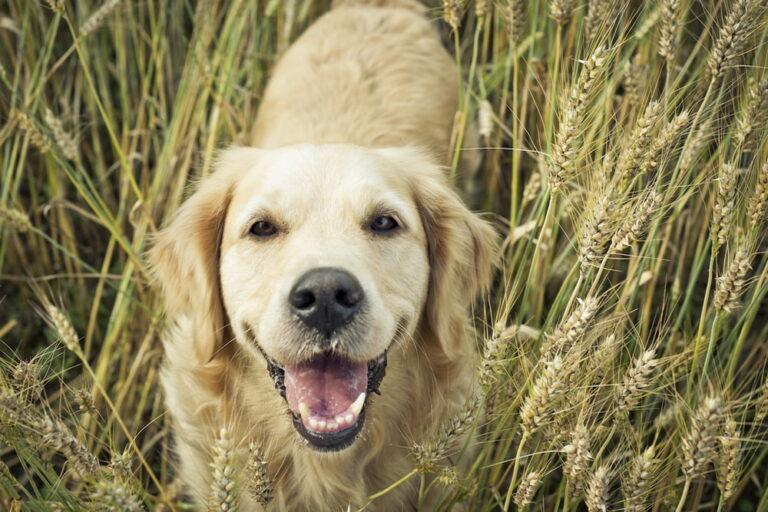 Golden Retriever in wheat field