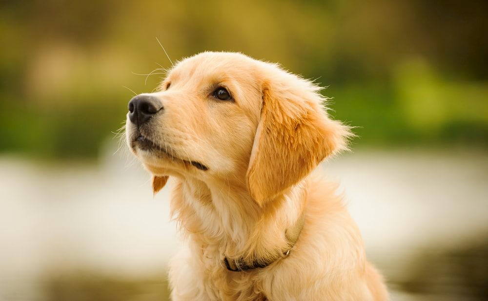Close up of Golden Retriever puppy