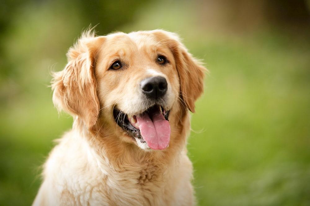 Golden Retriever dog breed smiling