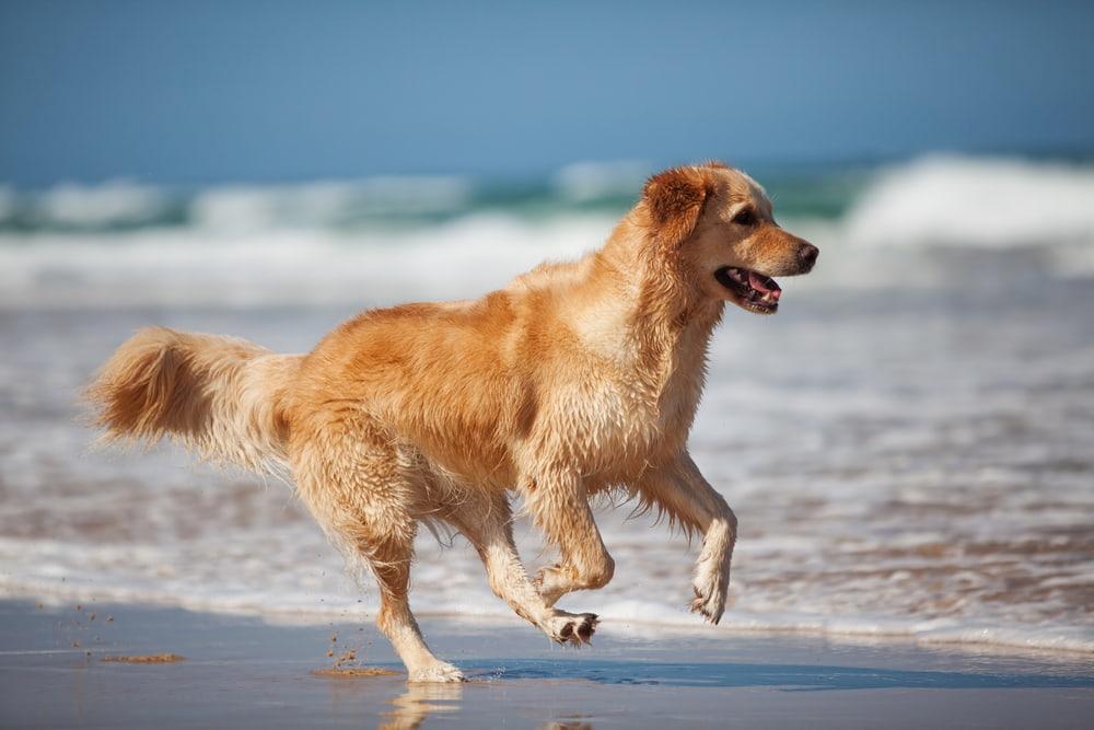 Active Golden Retriever running on beach