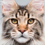 Closeup of Maine Coon cat face
