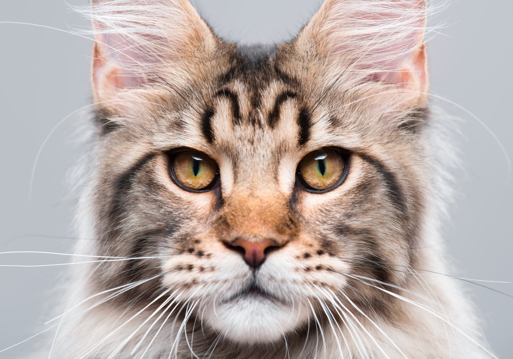 Closeup of Maine Coon cat face