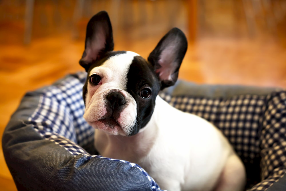 French Bulldog puppy lying on bed