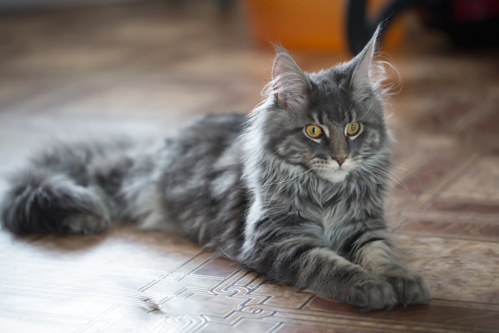 Gray Maine Coon cat lying on floor