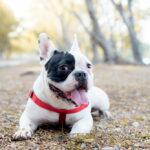 French Bulldog on walk outside