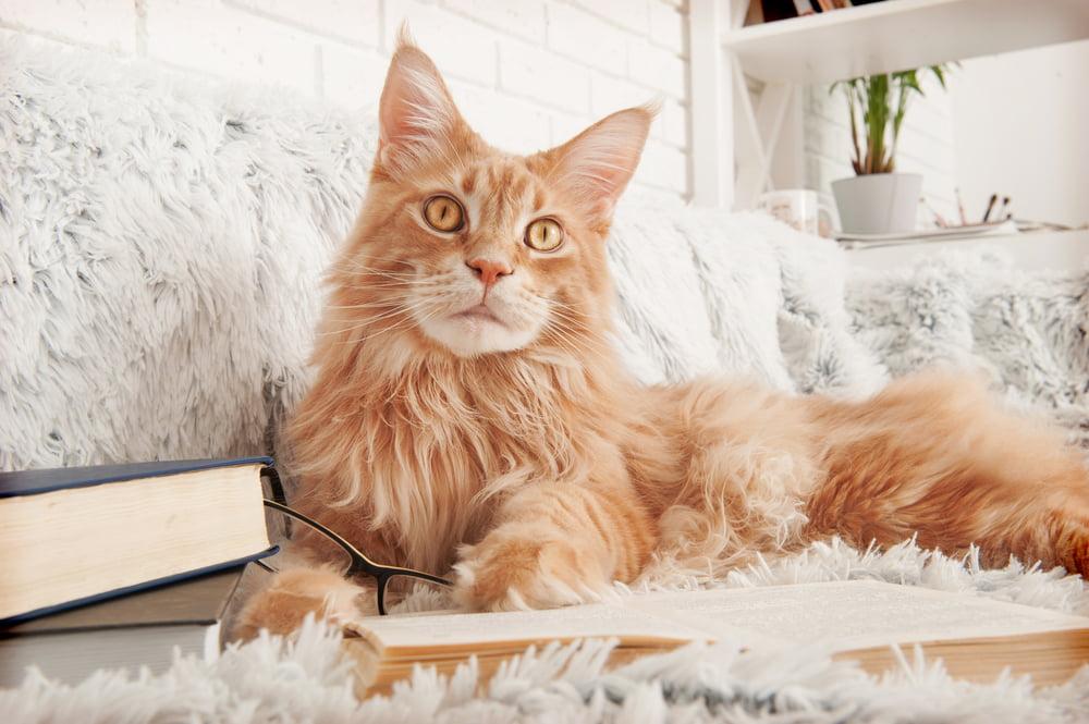 Orange Maine Coon cat on sofa