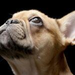 Sweet French Bulldog looking up