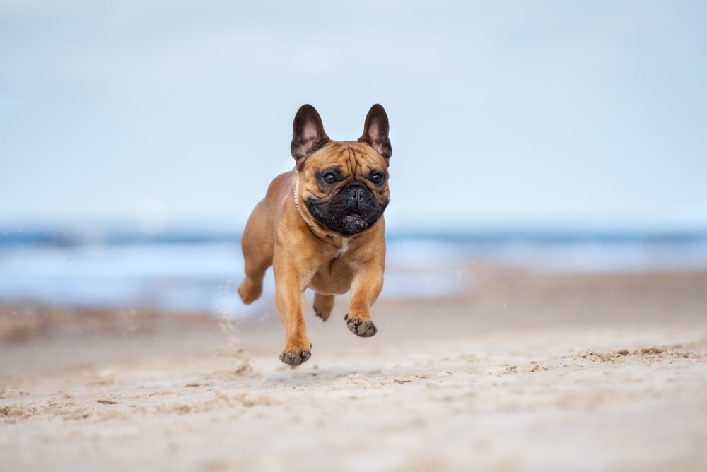 Frenchie running on the beach