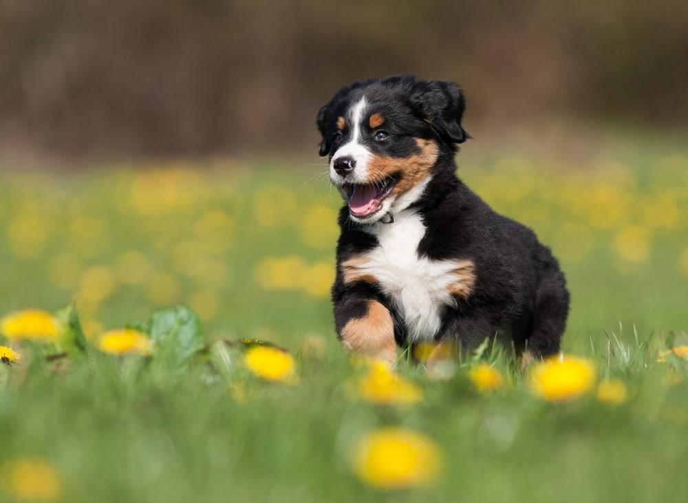 Bernese Mountain Dog puppy running through grass