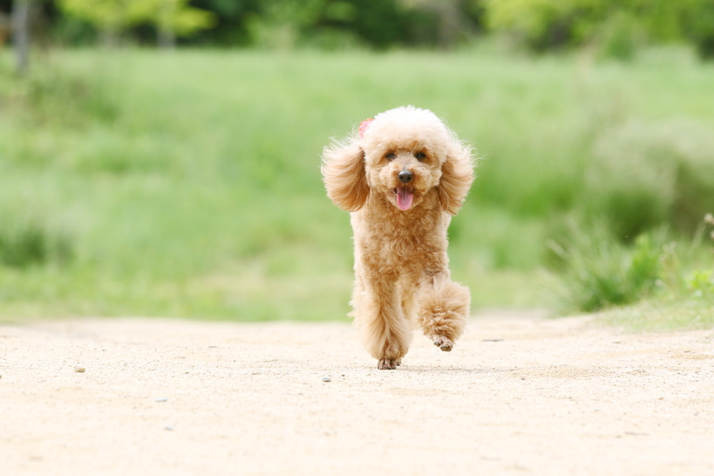 Poodle running on path