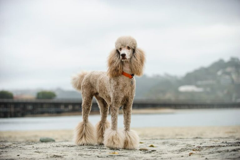 Poodle dog on the beach