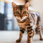 Kitten walking in the kitchen