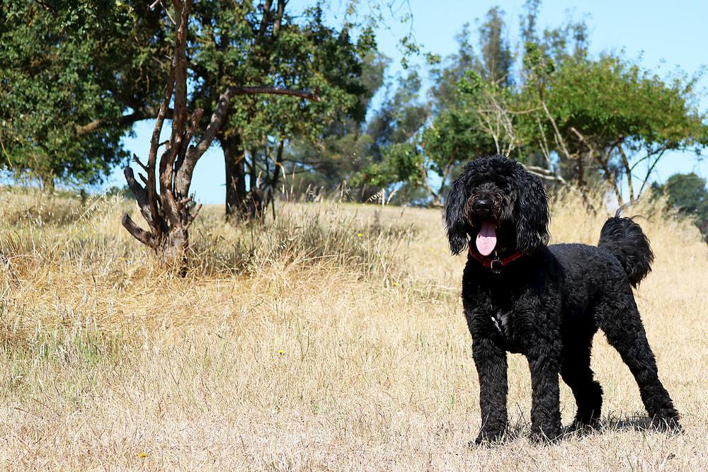 Black Bernedoodles outdoors in park