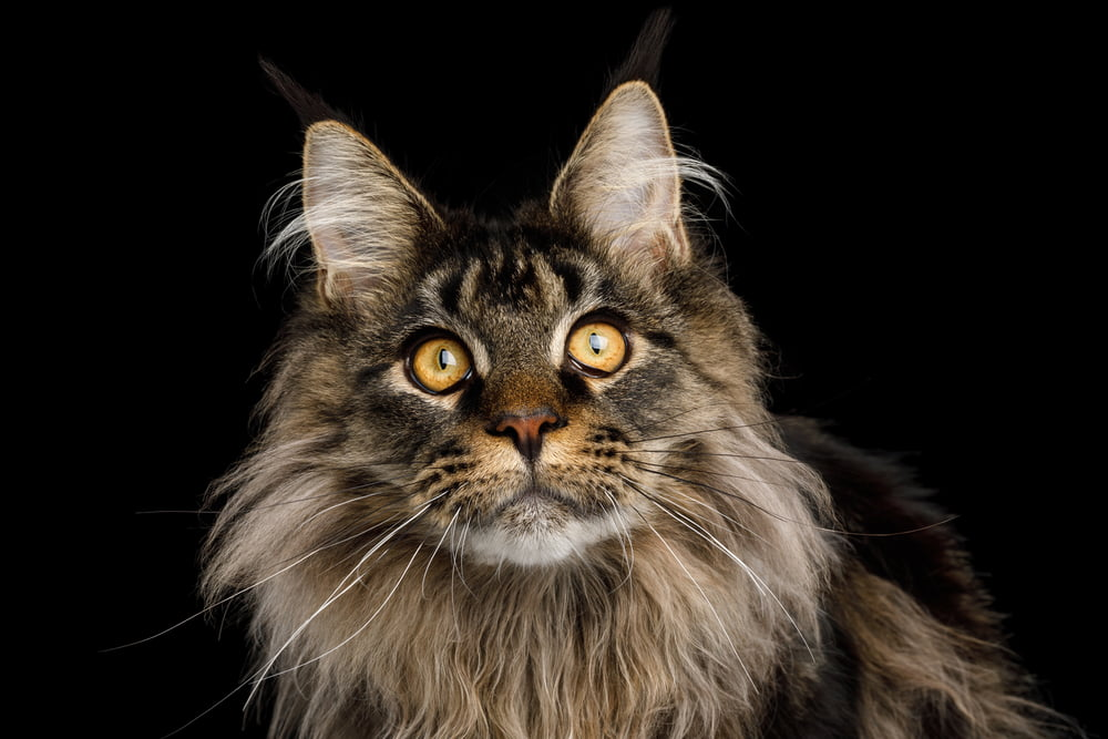 Portrait of Maine Coon