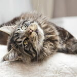 Playful Maine Coon cat