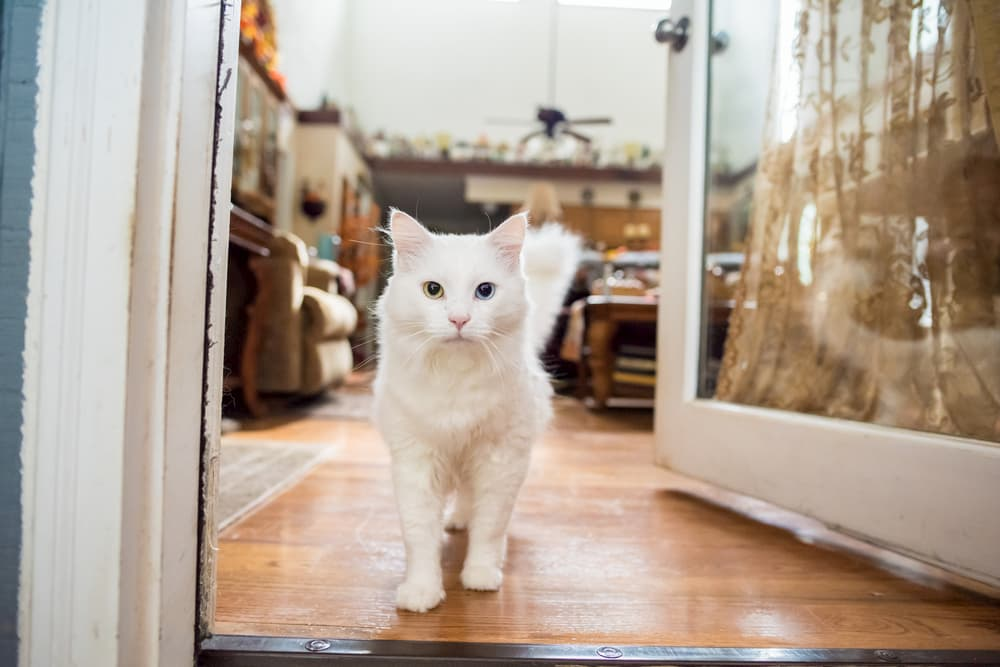 Cat walking around in house and waiting at open door