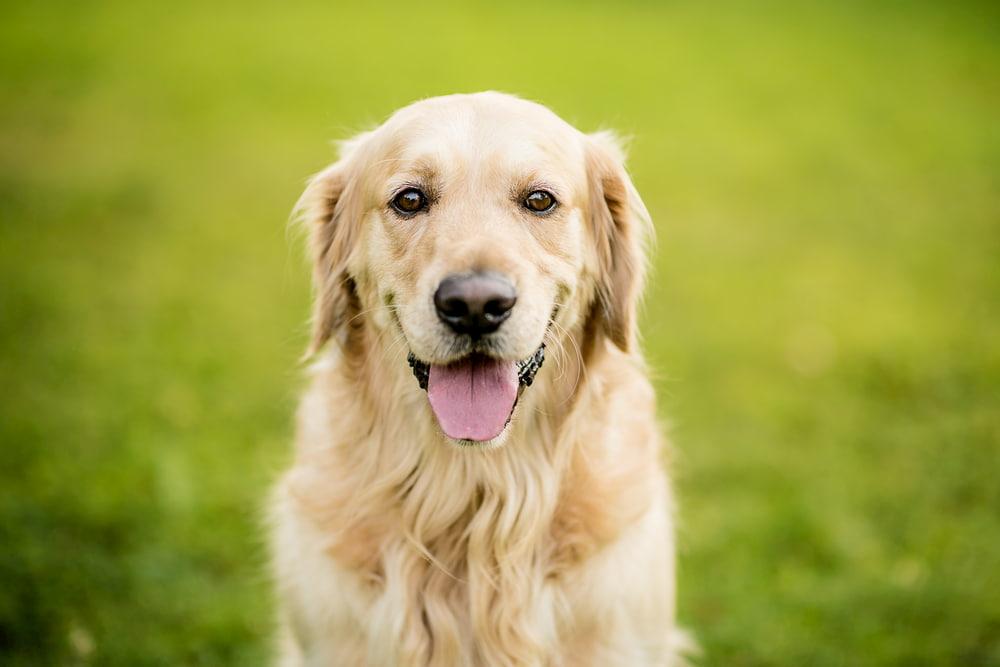 Golden Retriever dog outside
