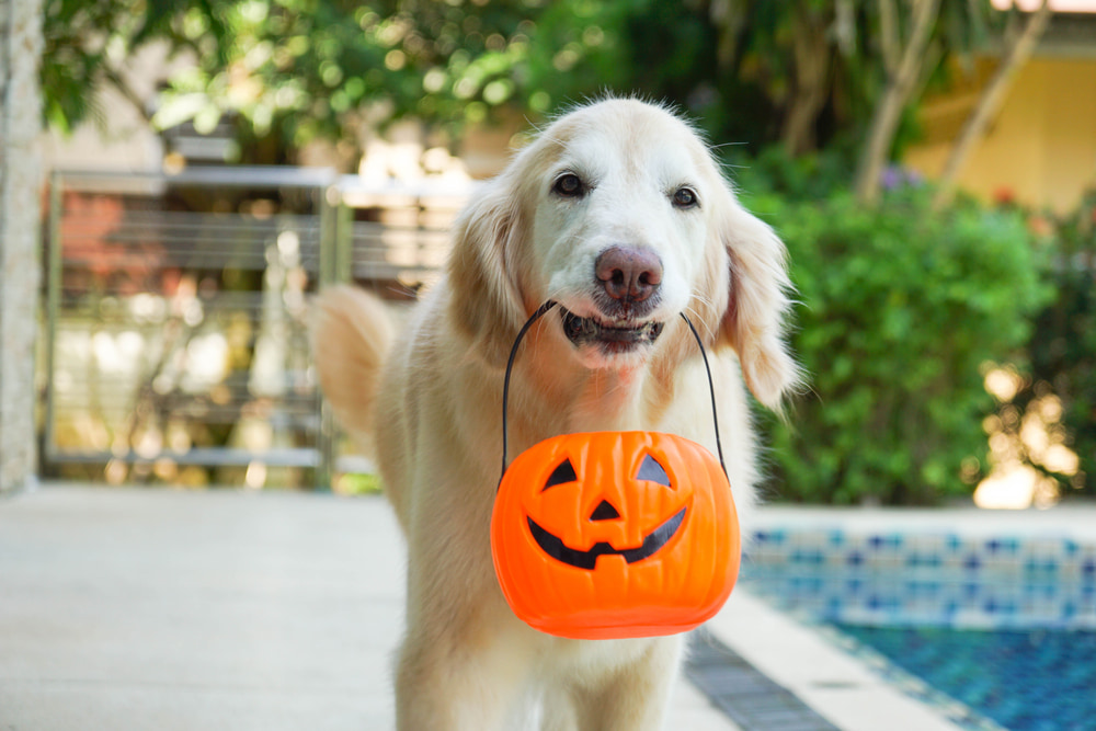 Dog carrying jack o lantern container in mouth
