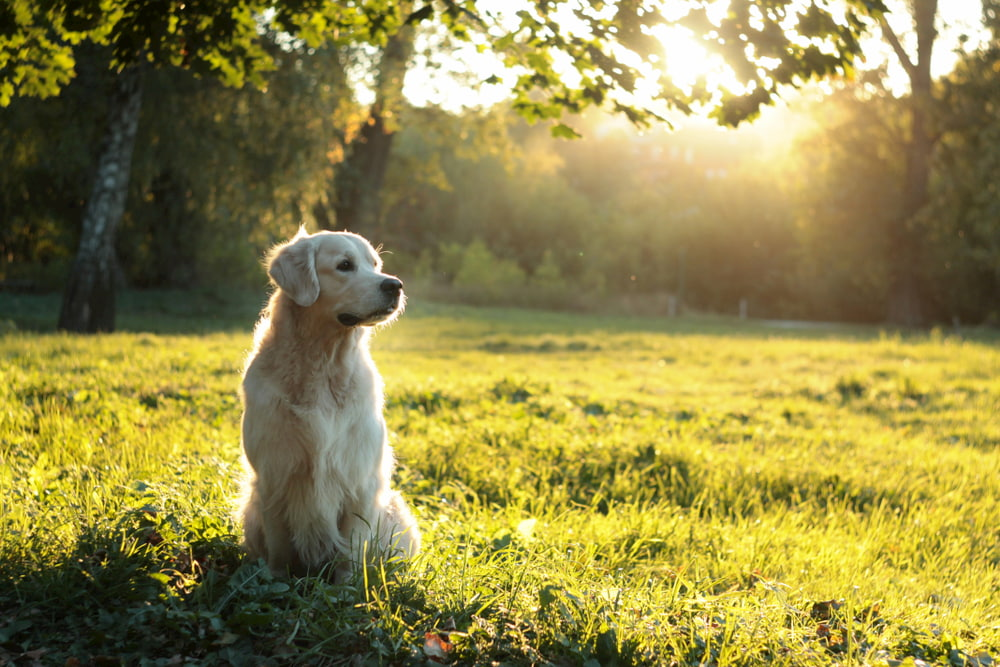 Portrait of Golden Retriever outdoors