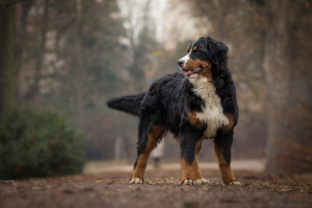Bernese Mountain Dog in the woods