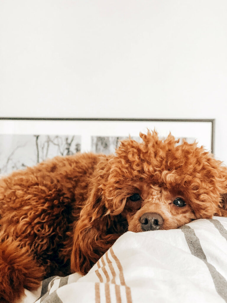Tired brown Poodle lying down