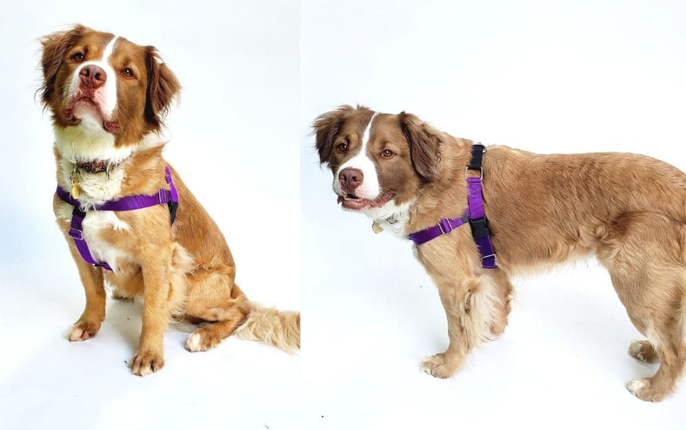 Dog wearing a no-pull training harness