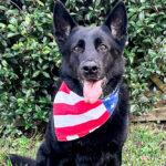 Hugo retired military dog