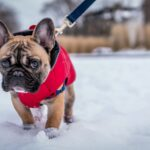 French bulldog walking in snow