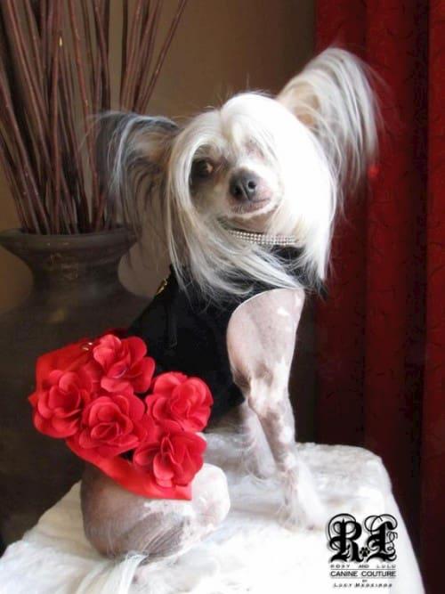 Flamenco rose dog dress