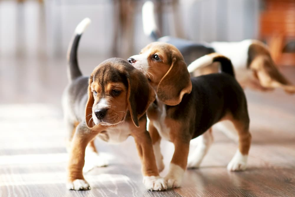 6 Strange Puppy Behaviors and What They Mean