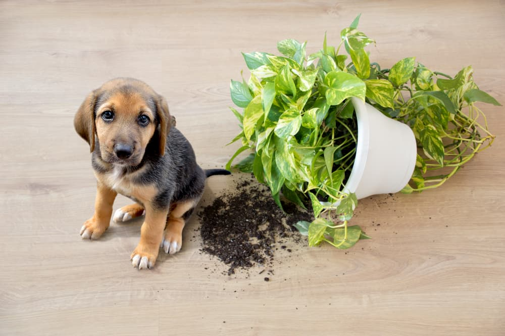 puppy knocked over plant