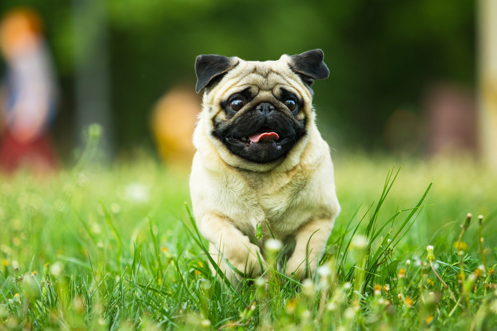 Pug dog running outside