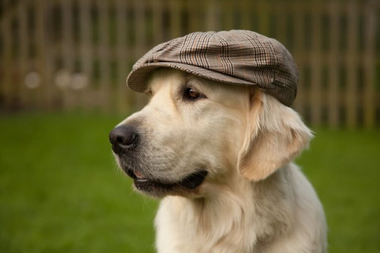 Labrador retriever in hat