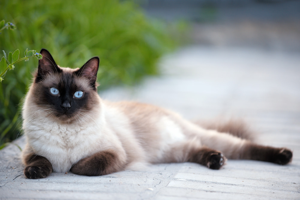 Siamese cat lying outside