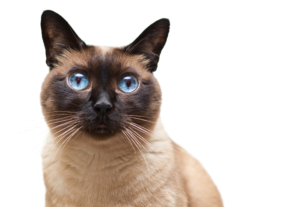 Siamese cat looking at the camera