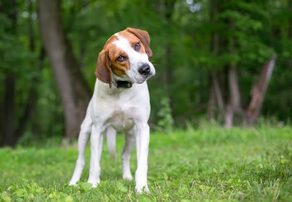 Dog outside tilting head