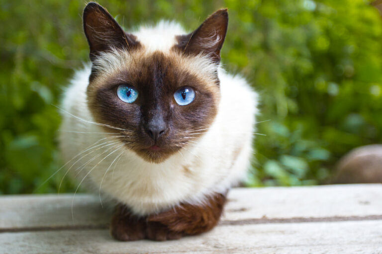 Siamese cat outside on table