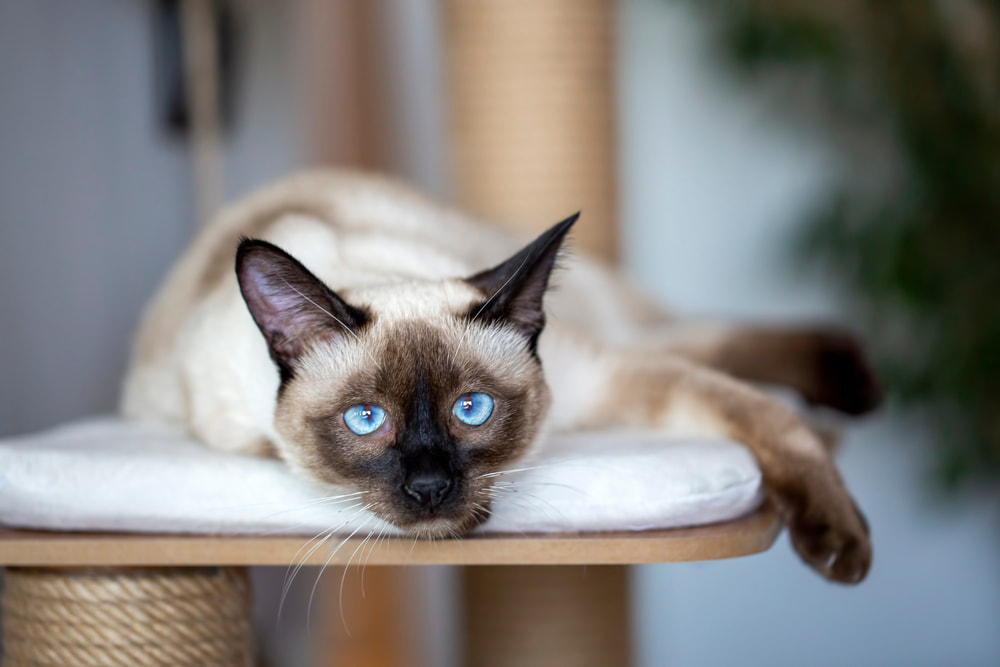Tired Siamese cat on cat tree
