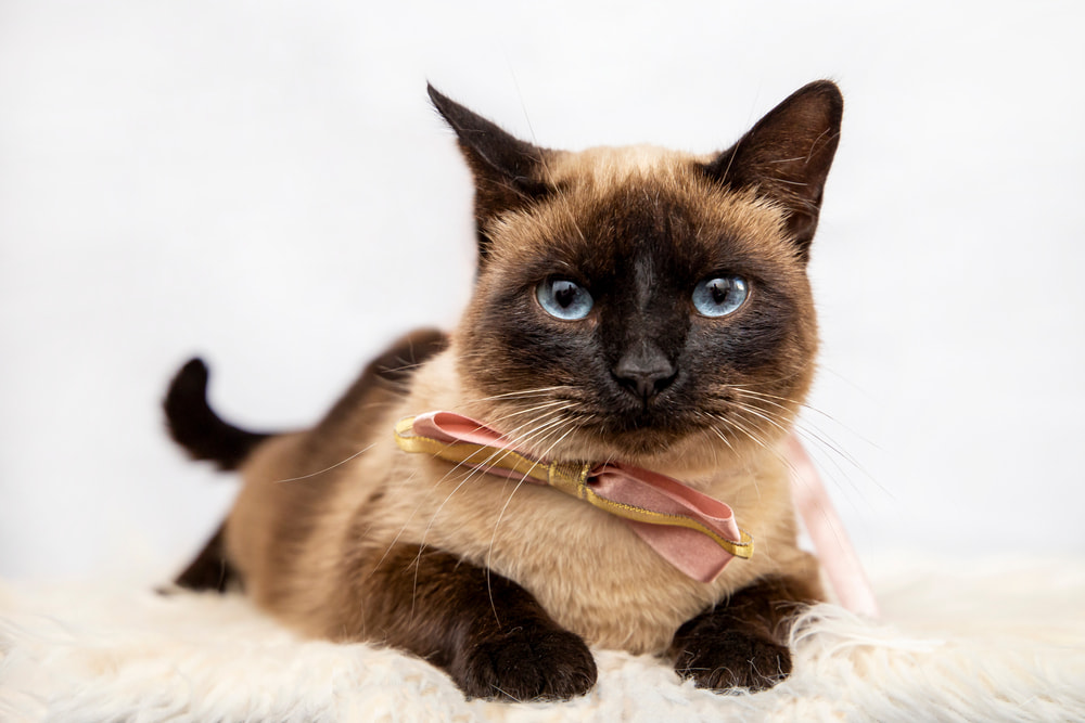 Siamese cat with bow