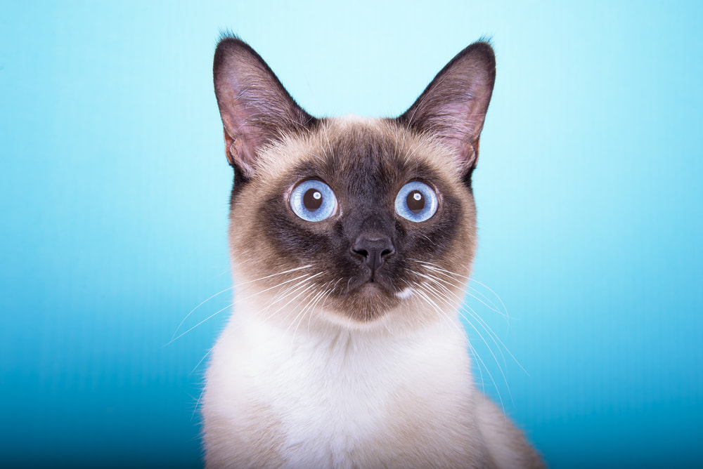 Siamese on blue background