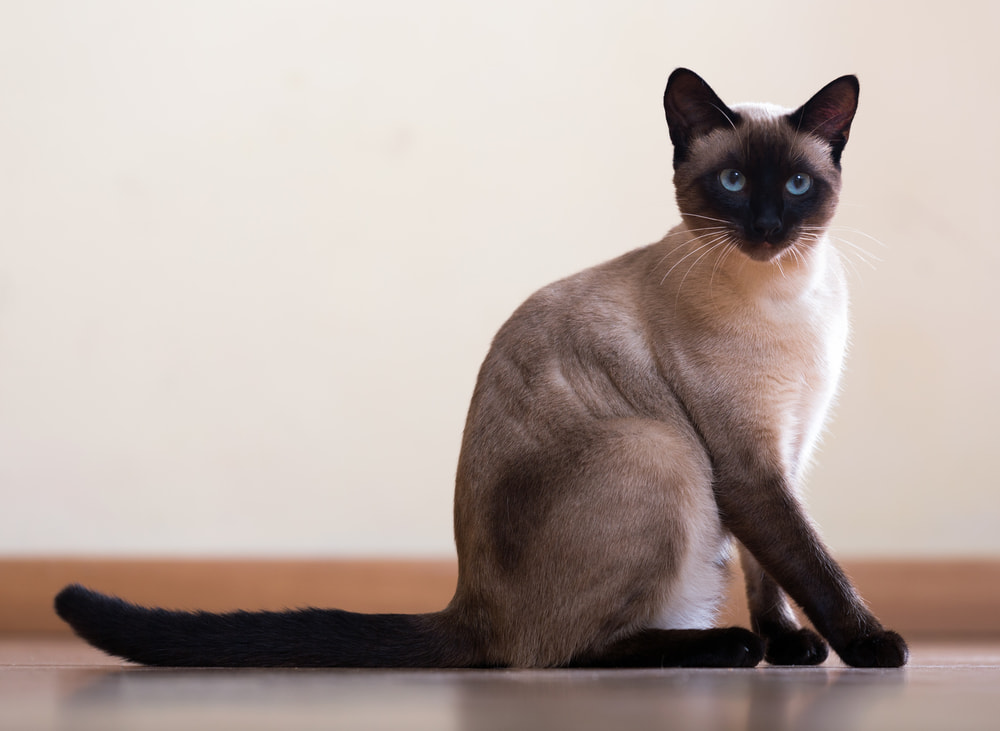 Siamese cat sitting