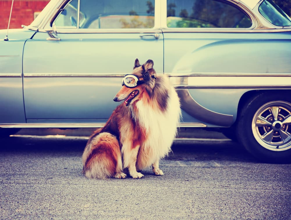 Collie in front of retro car