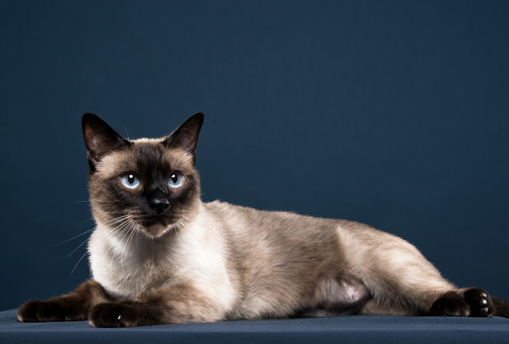 Siamese cat on blue background